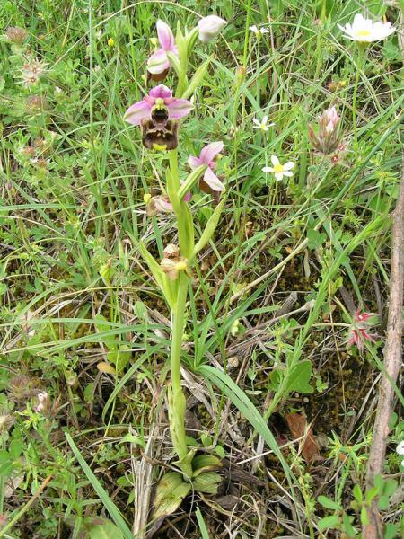 Ophrys holosericea subsp. annae (Devillers-Tersch. & Devillers) H. Baumann Giotta, Künkele, R. Lorenz & Piccitto