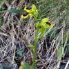 Ophrys lutea subsp. minor (Tod.) O. Danesch & E. Danesch