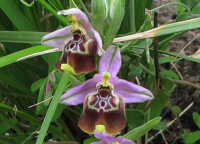 Ophrys oxyrrhynchos subsp. calliantha (Bartolo & Pulv.) Galesi, Cristaudo & Maugeri