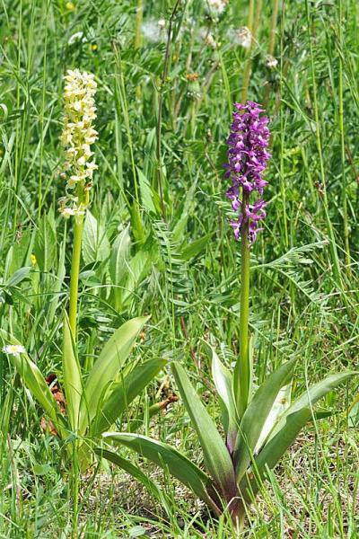 Orchis x loreziana Brugger