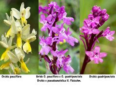 Orchis x pseudoanatolica H. Fleischm