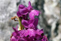 Orchis x pseudoanatolica H. Fleischm.