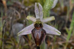 Ophrys splendida Gölz & H.R. Reinhard