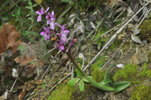 Orchis mascula subsp.olbiensis(Reut. ex Gren.)Asch. & Graebn.