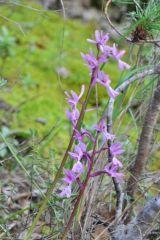Orchis mascula subsp.olbiensis (Reut. ex Gren.) Asch. & Graebn.