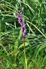 Orchis mascula subsp.speciosa (Mutel) Hegi
