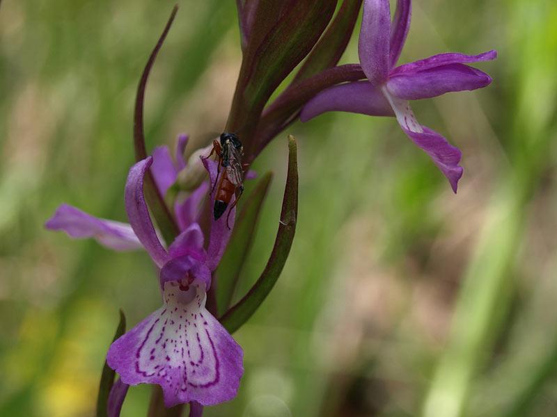 Dactylorhiza elata subsp. sesquipedalis (Willd.) Soò