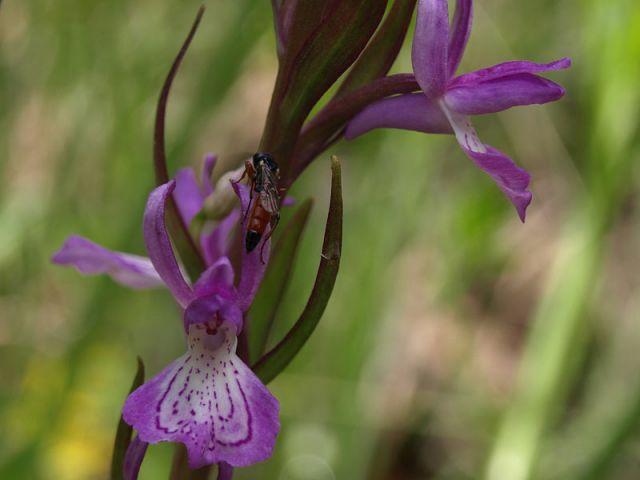 Dactylorhiza elata subsp. sesquipedalis (Willd.) So�
