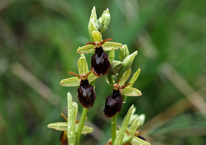 Ophrys x hybrida Pokorny