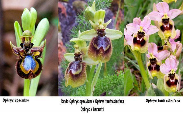 Ophrys x heraultii G. Keller ex Schrenk