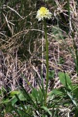 Nigritella nigra subsp. rhellicani var. flava Jaccard