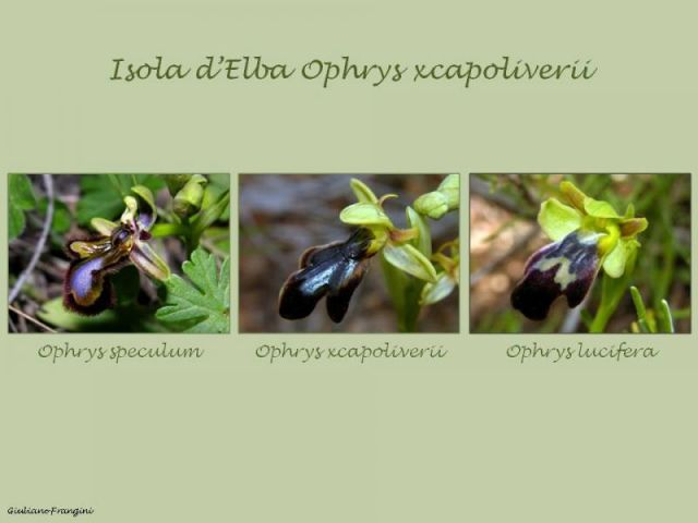 Ophrys x capoliverii Iamonico, Forbicioni & Frangini