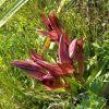 Serapias orientalis subsp. apulica H. Baumann & Künkele