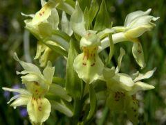 Dactylorhiza sambucina (L.) Soo'