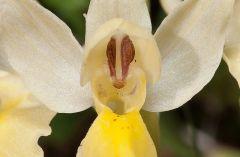 Orchis pauciflora Ten.