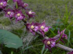 Epipactis atrorubens (Hoffm. ex Bernh.) Besser