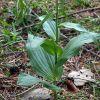Epipactis helleborine subsp. helleborine (L.) Crantz