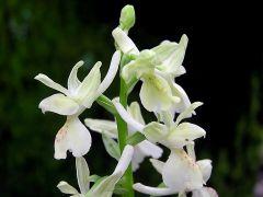Orchis provincialis Balbis ex Lamarck & DC