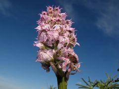Neotinea lactea (Poir.) R.M. Bateman, Pridgeon & M.W. Chase