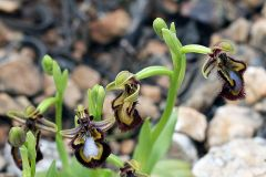 Ophrys speculum Link