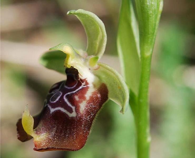 Ophrys oxyrrhynchos subsp. oxyrrhynchos Tod.