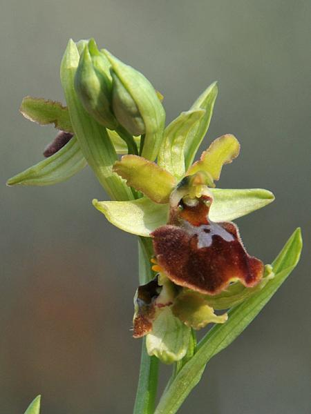 Ophrys sphegodes subsp. sphegodes Miller