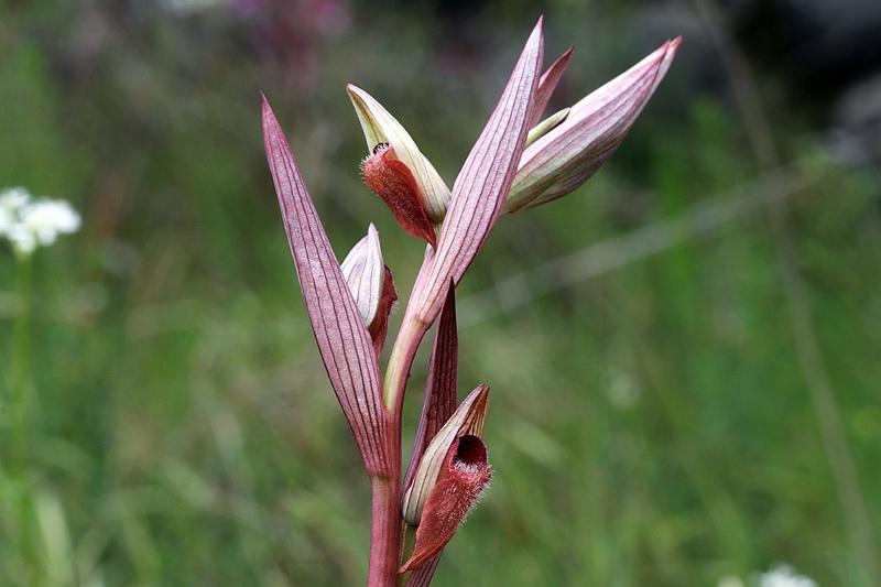 Serapias vomeracea subsp. vomeracea (Burm. F.) Briq.