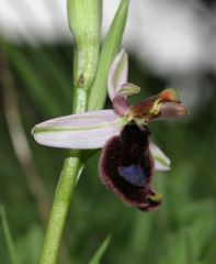 Ophrys bertolonii subsp. bertolonii Moretti