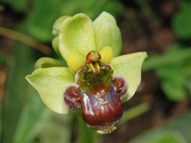 Ophrys bombyliflora Link.