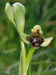 Ophrys bombyliflora Link