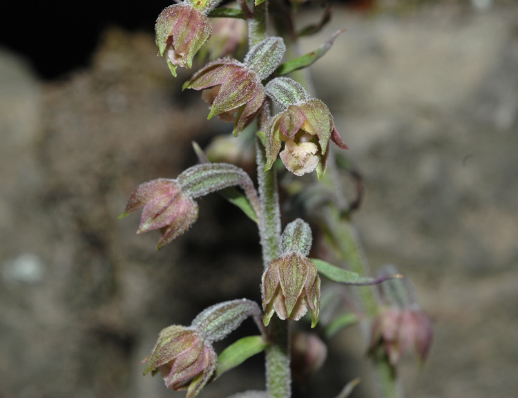 Epipactis microphylla (Ehrh.)Sw.