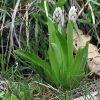 Orchis militaris L.