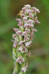 Neotinea maculata (Desf.) Stearn