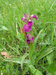 X Serapicamptis bevilacquae (Penzig) J.M.H Shaw