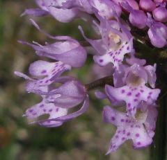 Traunsteinera globosa (L.) Reichenbach