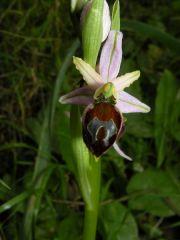 Ophrys exaltata Ten. subsp. morisii (Martelli) Del Prete