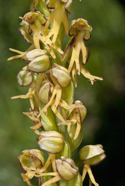 Orchis anthropophora (L.) Allioni