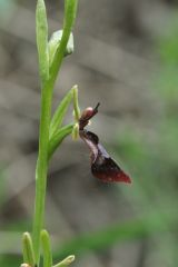 Ophrys insectifera L.