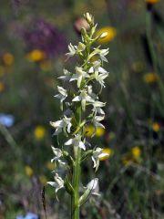 Platanthera bifolia (L.) Rchb.