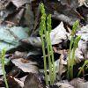 Corallorhiza trifida Châtel