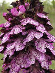 Orchis purpurea Hudson