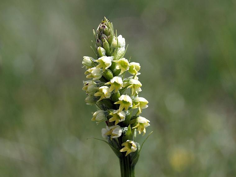 Pseudorchis albida (L.) A. & D. Love