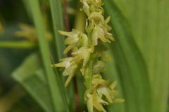 Herminium monorchis (L.) R.Brown