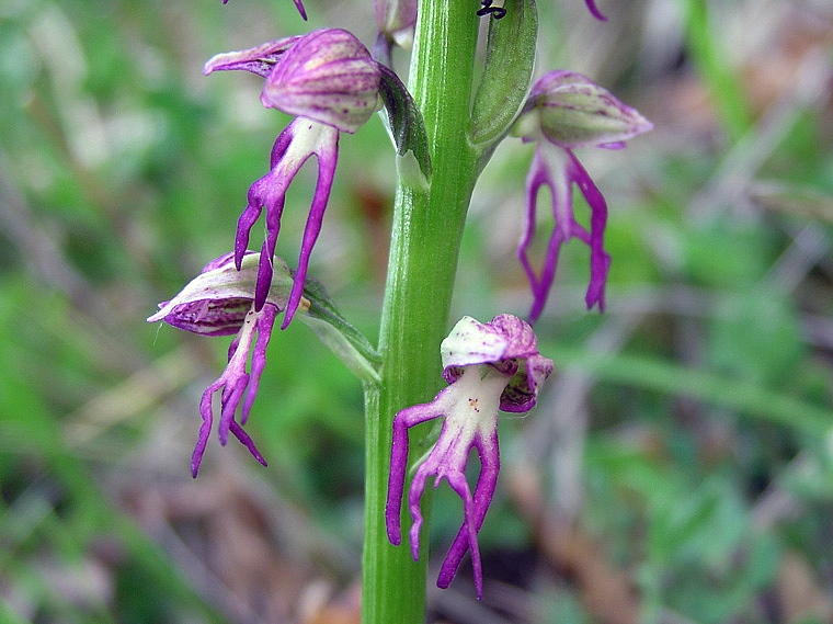 Orchis x bergonii Nanteuil