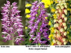 Orchis x bergonii Nanteuil Ibrido orchis simia Lam. X Orchis anthropophora (L.) All.