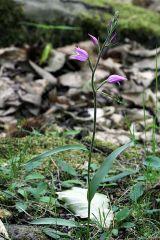 Cephalanthera rubra (L.) Rich.