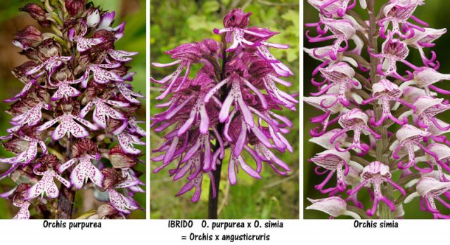 Orchis × angusticruris Franch. ex Humn.