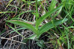 Epipactis palustris (L.) Crantz
