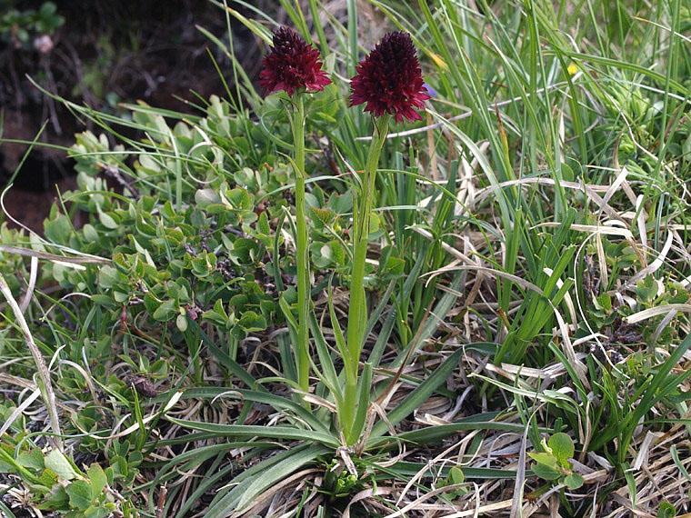 Nigritella nigra subsp. rhellicani (Teppner & E. Klein) H. Baumann, Kunkele & R. Lorenz