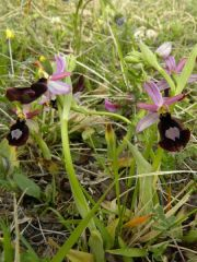 Ophrys bertolonii subsp. benacensis (Reisigl) P. Delforge